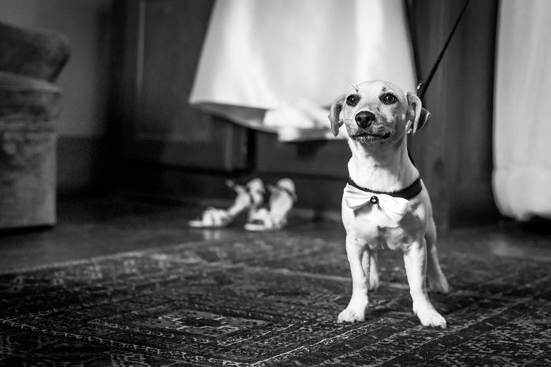 No dog friendly wedding is complete without a canine ring bearer-simply attach the ring to your pooch's collar and away you go.