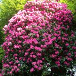 Rhododendrons at The Falcondale